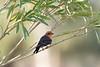 Vermilion Flycatcher (male)<br /> Pima County, Arizona