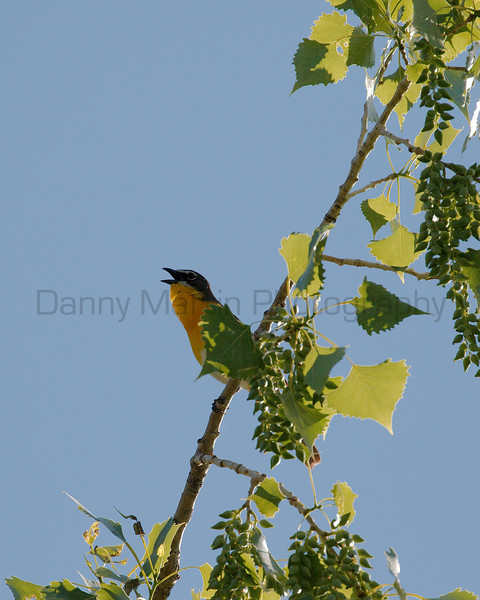 Yellow-breasted Chat singing<br /> Larimer County, Colorado