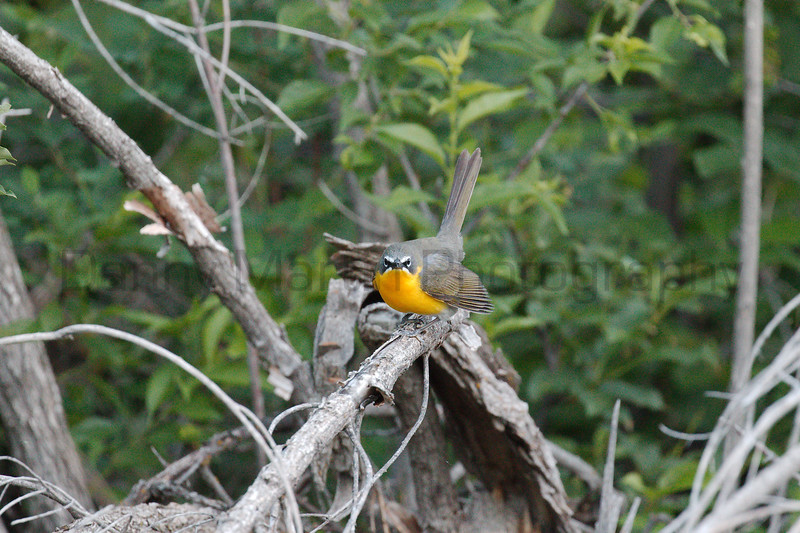 Yellow-breasted Chat<br /> Larimer County, Colorado