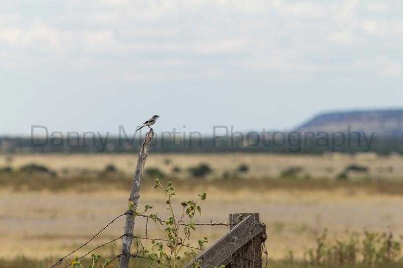 Loggerhead Shrike (calling)<br /> Las Animas County, Colorado