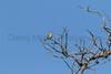 Black-headed Grosbeak (female)<br /> Pima County, Arizona