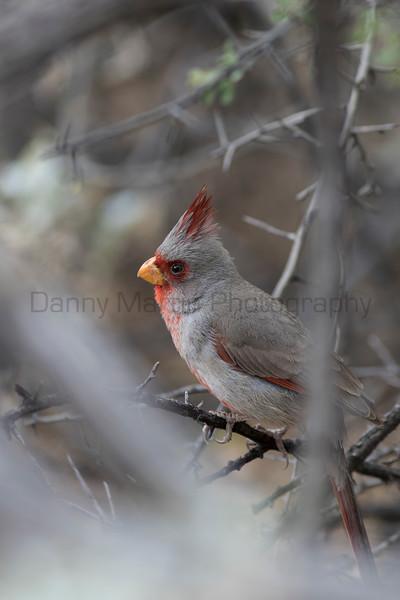 Pyrrhuloxia (male)<br /> Pima County, Arizona