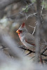 Pyrrhuloxia (male)<br /> Pima County, Arizona