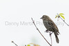 Red-winged Blackbird (female)<br /> Larimer County, Colorado