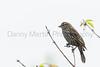 Red-winged Blackbird (female)<br /> Larimer County, Colorado