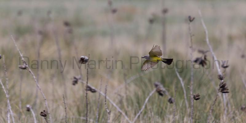 Western Kingbird<br /> Buffalo Lake National Wildlife Refuge, Randall County, Texas.