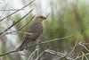 Brown-headed Cowbird (female)<br /> Larimer County, Colorado
