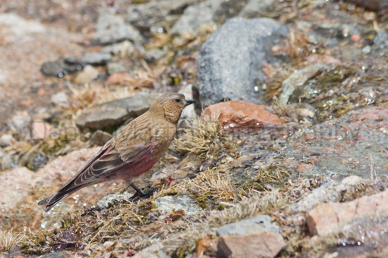 Brown-capped Rosy Finch<br /> Mt. Evans, Clear Creek County, Colorado