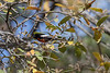 Painted Redstart<br /> Santa Cruz County, Arizona