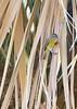 Nashville Warbler<br /> Pima County, Arizona