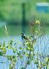 Yellow-rumped Warbler<br /> Upper Mississippi National Wildlife & Fish Refuge, Minnesota<br /> *low-resolution slide scan