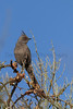 Phainopepla (female)<br /> Pima County, Arizona