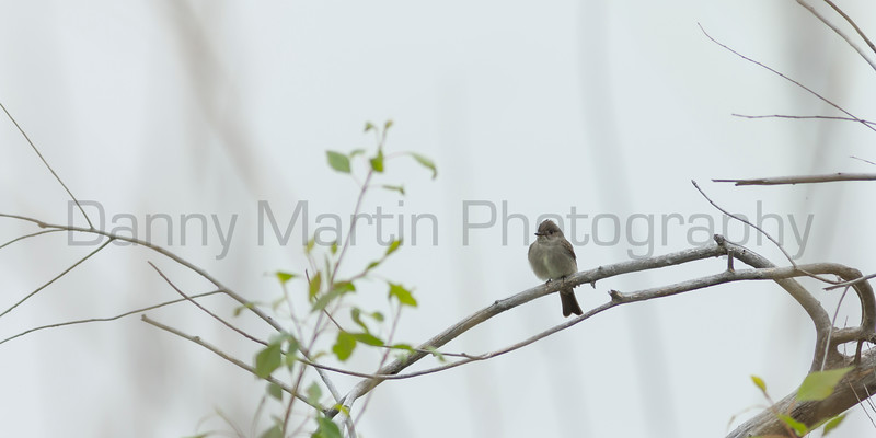 tyrant flycatcher<br /> Larimer County, Colorado