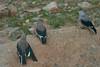 Clark's Nutcrackers (juveniles & adult)<br /> Rocky Mountain National Park, Colorado