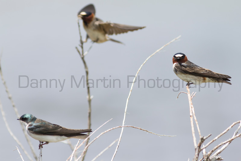 Tree Swallow (left) and Cliff Swallows (middle & right)<br /> Jackson County, Colorado.