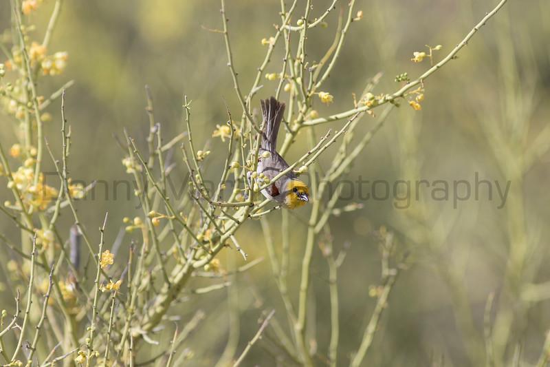 Verdin in Palo Verde<br /> Pima County, Arizona