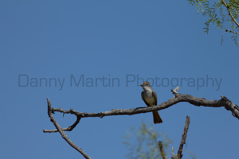 Great Crested Flycatcher<br /> Palo Duro Canyon State Park, Randall County, Texas