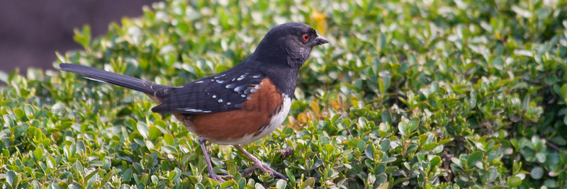 Spotted Towhee.  <br /> Portland, Oregon.
