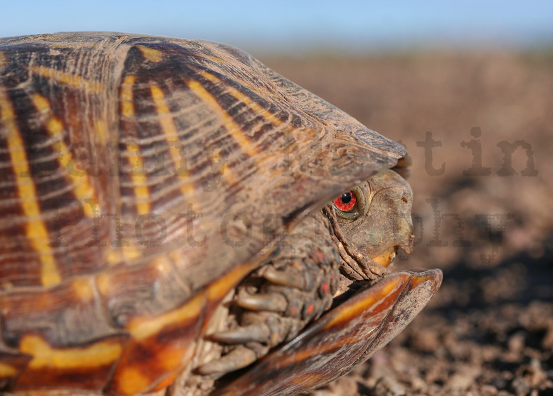 Ornate Box Turtle (male) <br /> Comanche National Grassland, Colorado.