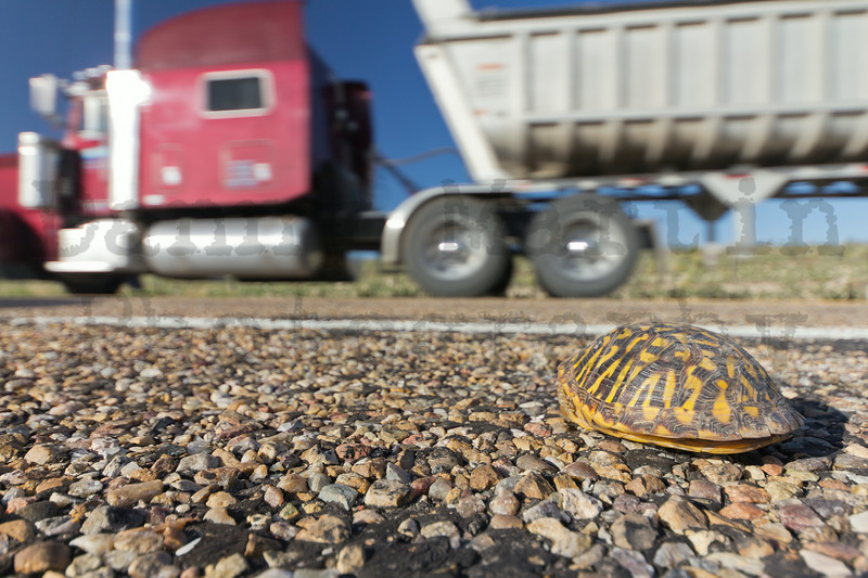 Ornate Box Turtle on road, with truck passing by.<br /> Texas panhandle.