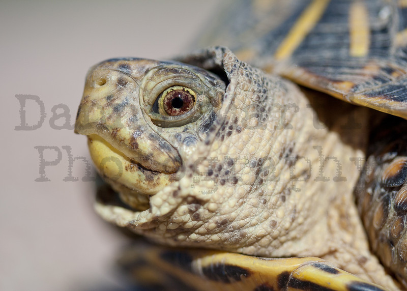 Ornate Box Turtle (female)<br /> Yuma County, Colorado.