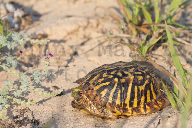 Ornate Box Turtle (male)<br /> Yoakum County, Texas.