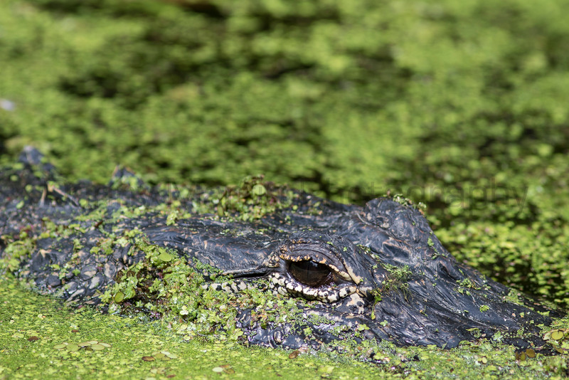 American Alligator<br /> Jefferson Parish, Louisiana