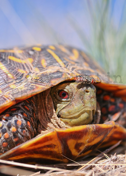 Ornate Box Turtle (male) with fly on nose  <br /> Comanche National Grassland, Colorado.