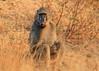Savanna Baboon<br /> Kruger National Park, South Africa
