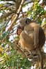 Savanna Baboon (juvenile, foraging)<br /> Kruger National Park, South Africa