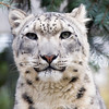 Snow Leopard at Rosamond Gifford Zoo