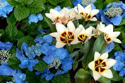 Kaufmanniana Tulip