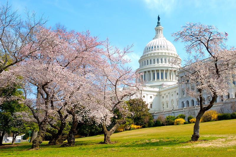 United States Capitol Dogwoods
