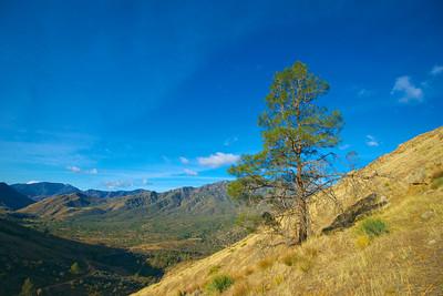 Hillside Pine Treez