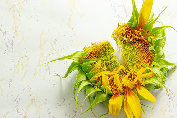 Overhead Angle of a Broken Sunflower on a Light Background