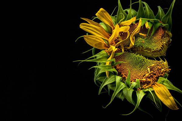 Overhead Angle of a Broken Sunflower on a Black Background