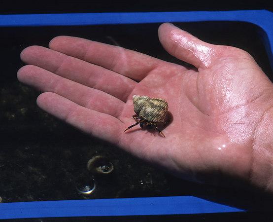 hermit crab held safely underwater