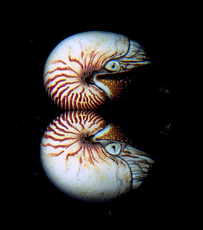 chambered nautilus and its reflection