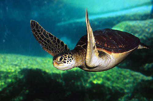 young green sea turtle, or honu