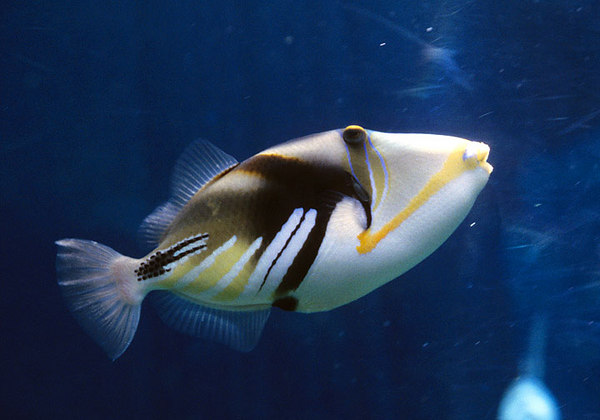 triggerfish, humuhumunukunukuapoa'a (humu, for short)