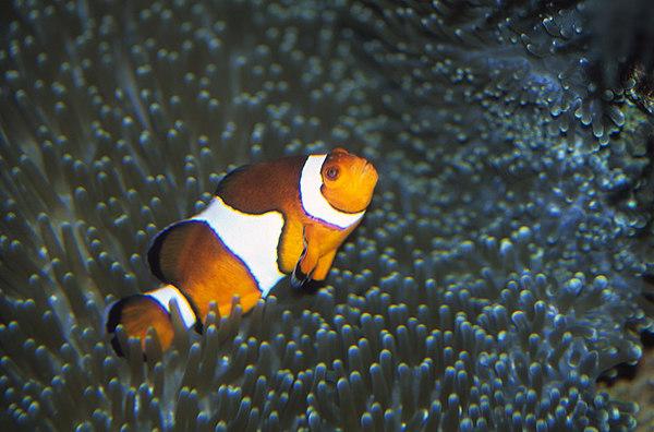 Nemo, clownfish, anemone fish within tentacles of anemone