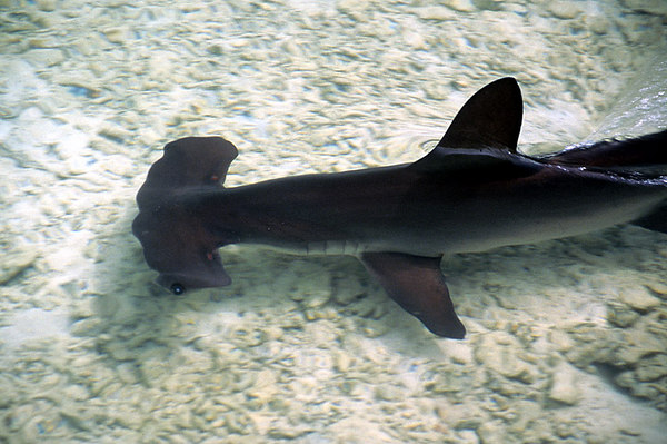 scalloped hammerhead shark, Kaneohe Bay