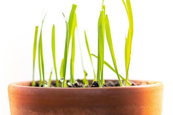 Cat Grass in a Clay Pot