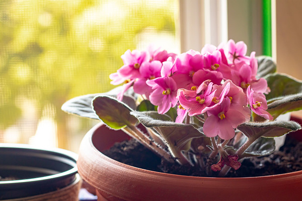Pink African Violets in a Window