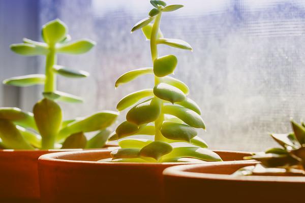 Succulent Plants on a Windowsill