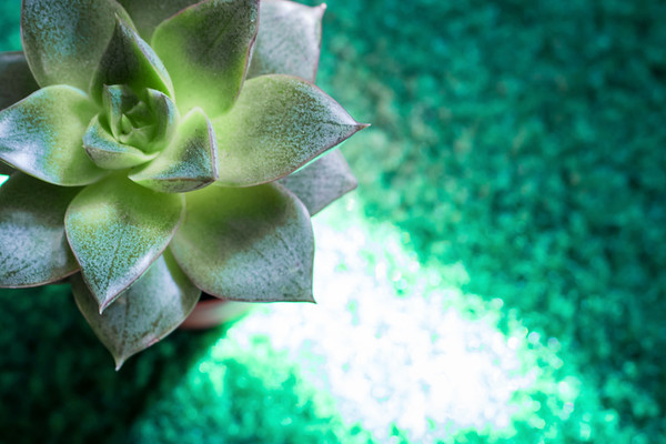 Closeup and Overhead View of a Succulent