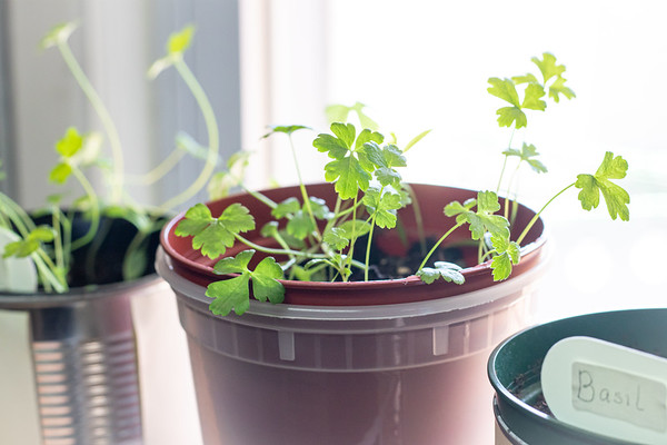 Green Parsley Herb in a Container in the Window