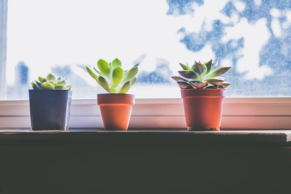 Three Succulents on a Window