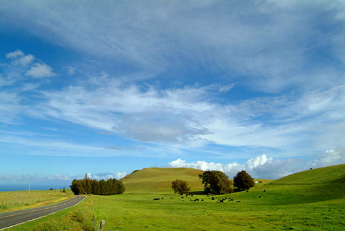 Spectacular view of cattle and rolling pastures along upper Highway 250 between Waimea and Hawi, Big Island of Hawaii