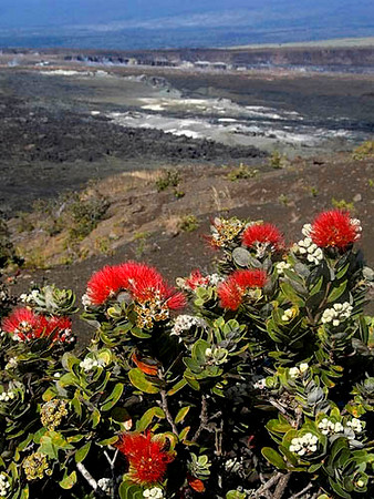 red ohia lehua flowers on the rim of Kilauea Cauldera, Big Island of Hawaii